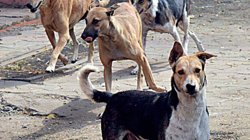 जहानाबाद शहर: पर्वो वायरस से चाैबीस आवारा कुत्तों की मौत